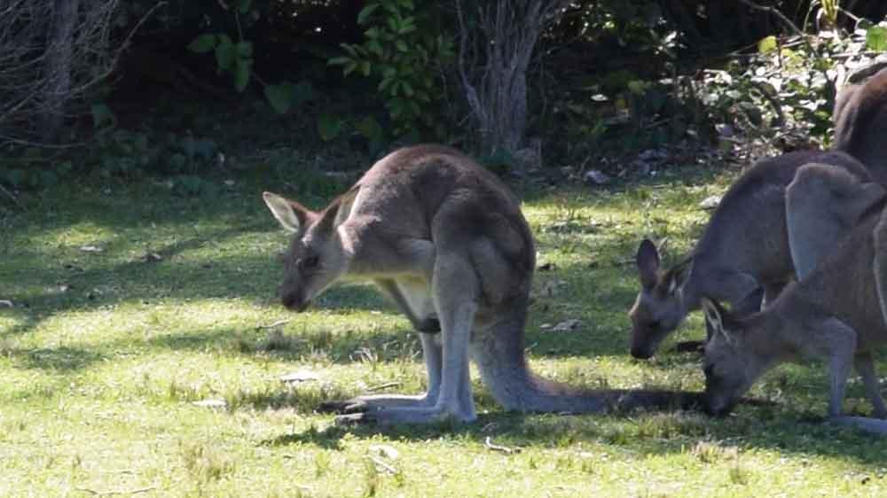 a kangaroo standing