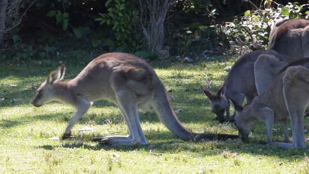the kangaroo leans forward