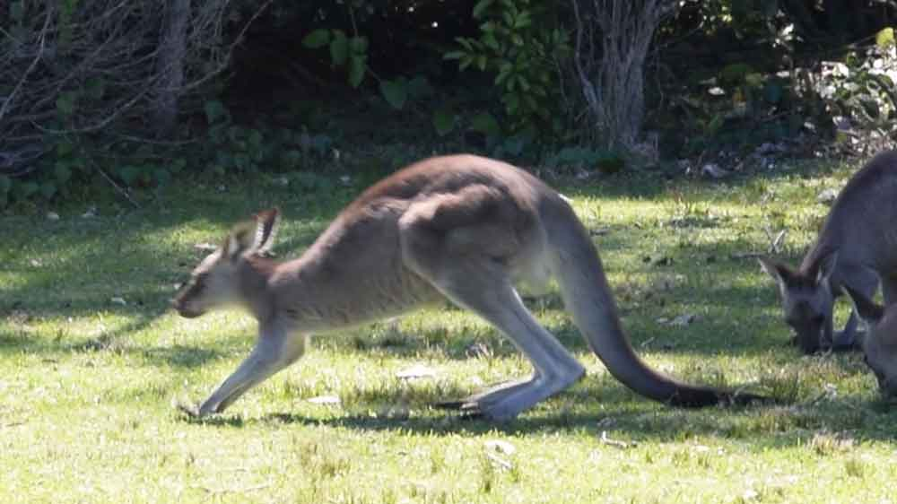 the kangaroo leans forward