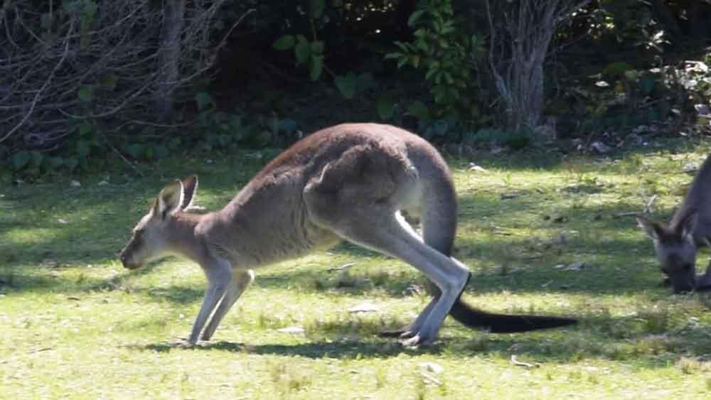 the kangaroo raises its hind limbs
