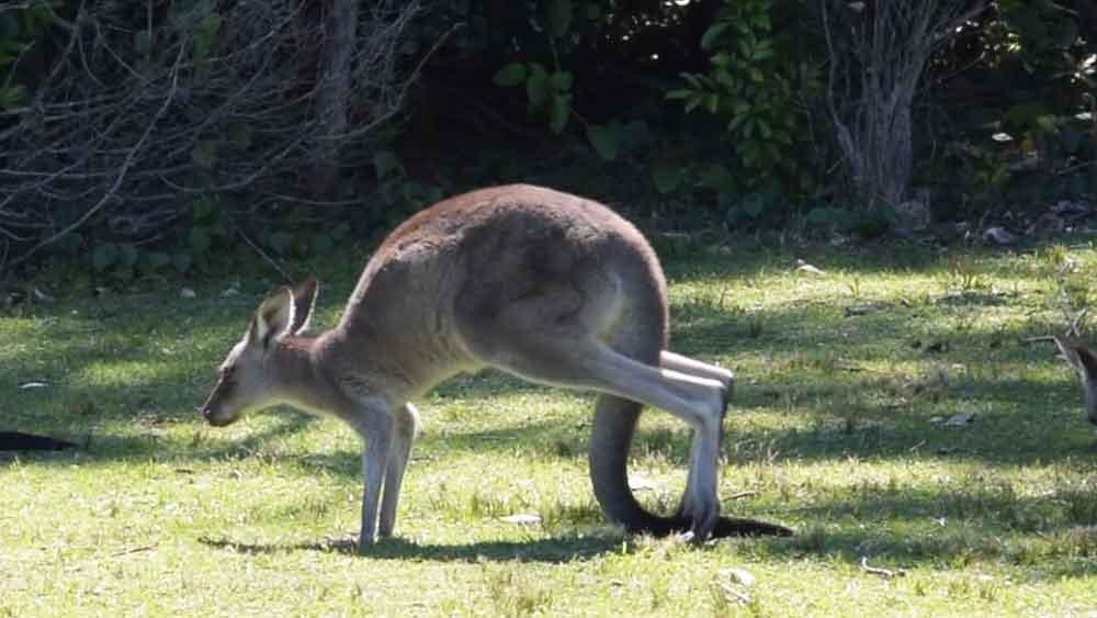 the kangaroo forms a tripod
