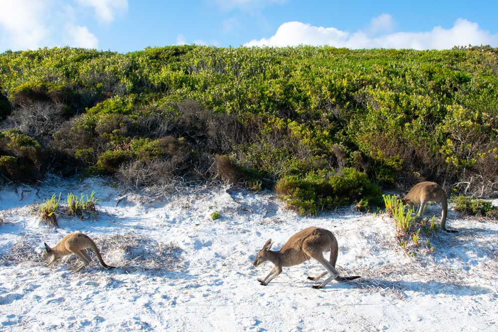 kangaroo family with mother and joey at Lucky Bay, WA
