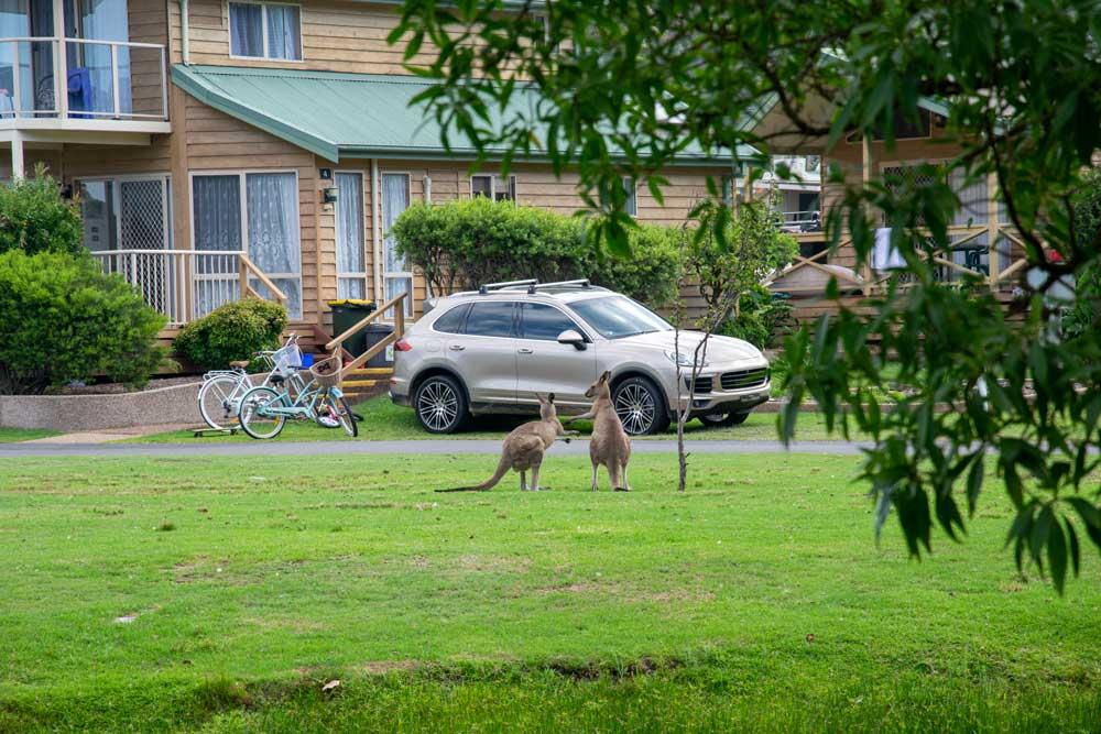 kangaroos close to a house