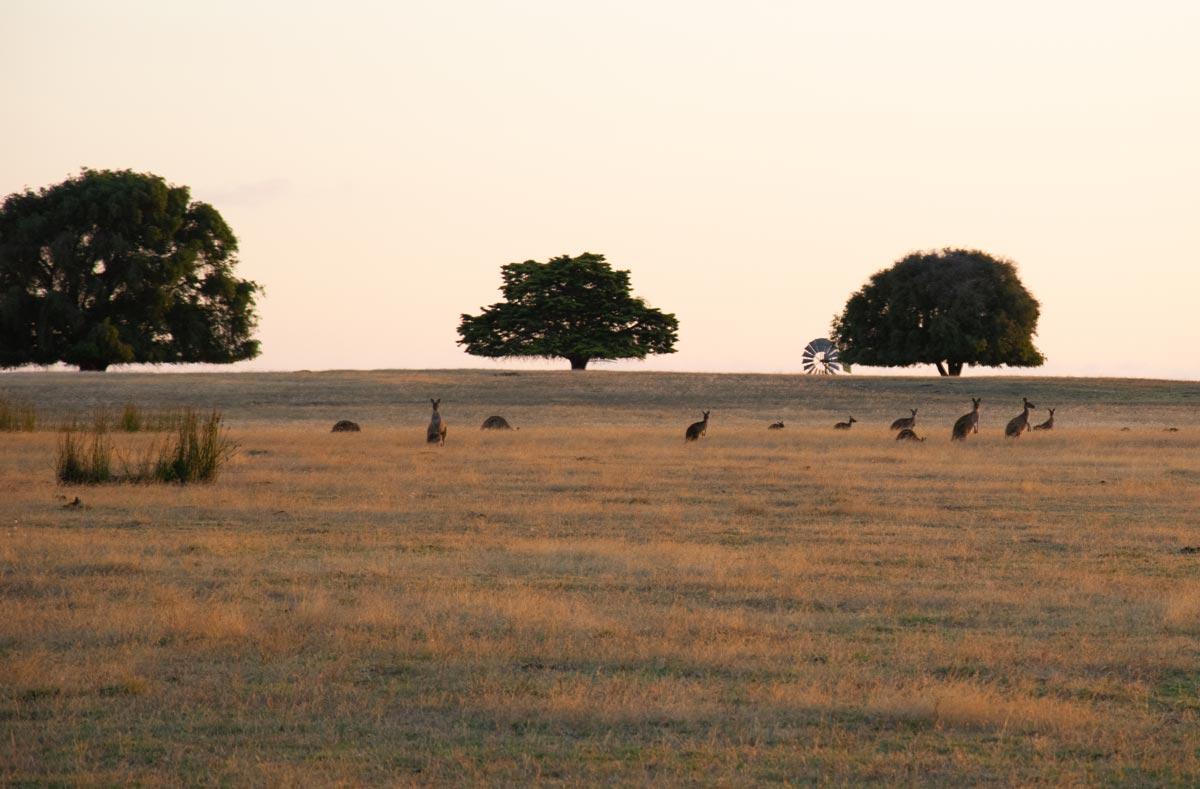 kangaroos at dusk in Australia's golden outback