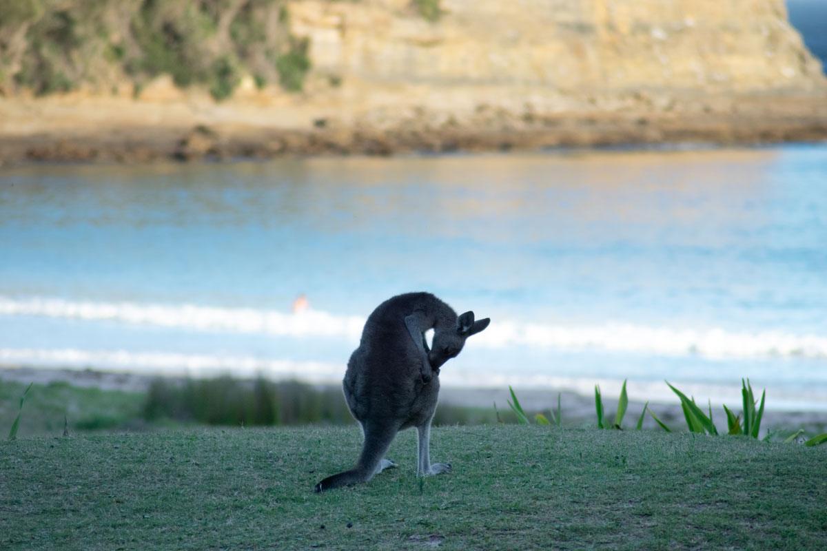 Kangaroo Pebbly Beach