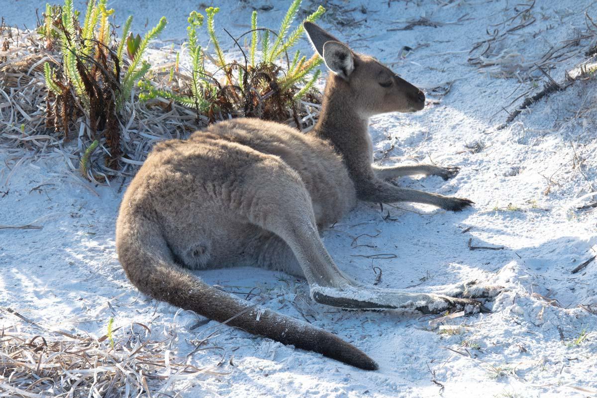 kangaroo resting at lucky bay Western Australia