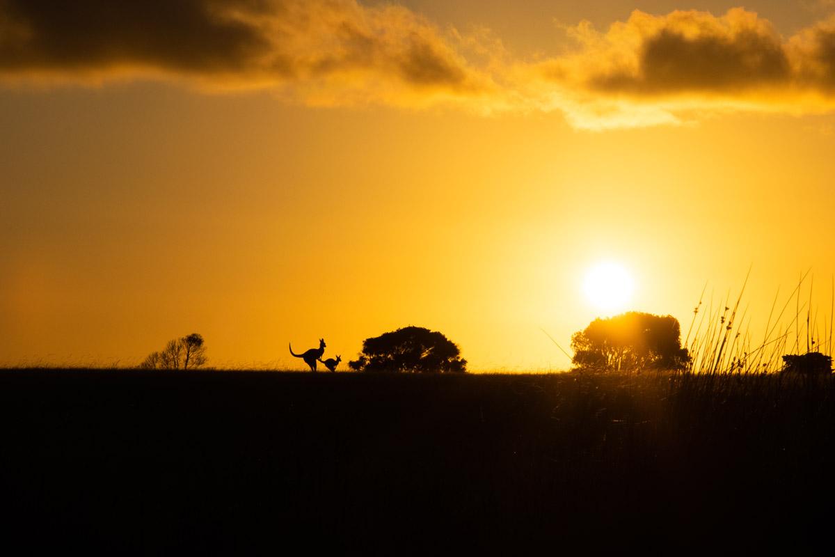 Kangaroos looking at the sunset