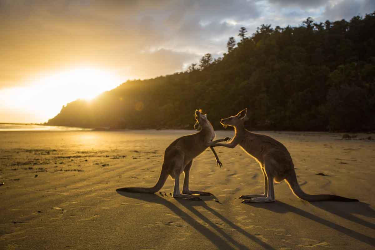 Cape Hillsborough kangaroos on the beach