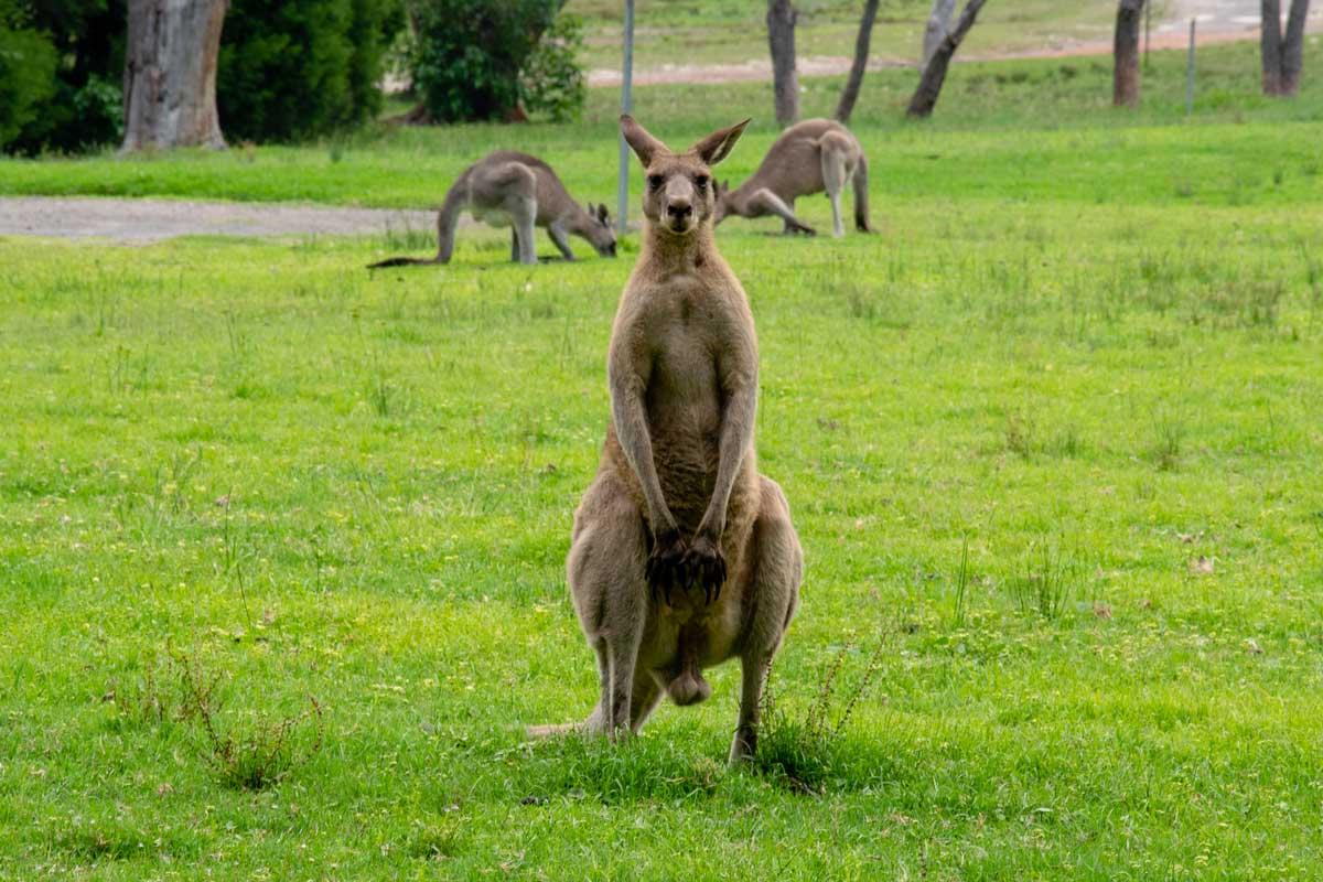 Kangaroo at Murramarang National Park