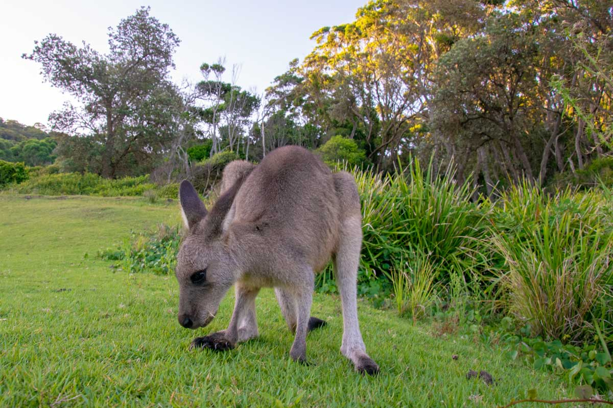 a young kangaroo grazing at Murramarang National Park NSW