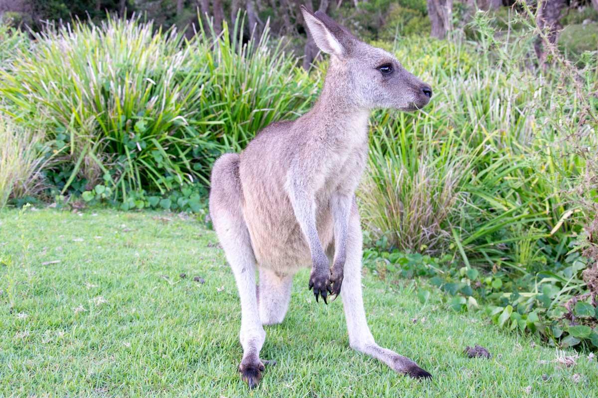 a young kangaroo in Murramarang National Park