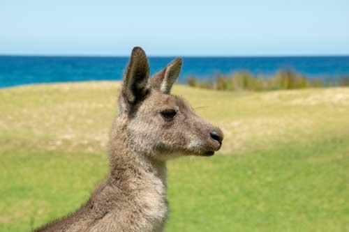My 10 Favorite Places to See Wild Kangaroos Near Sydney