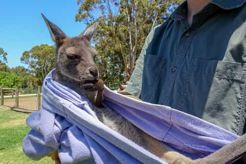 Can you feed and pat kangaroos at Featherdale Wildlife Park Sydney?