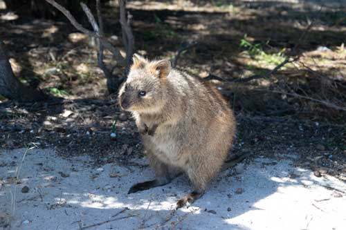 The Ultimate Quokka Guide