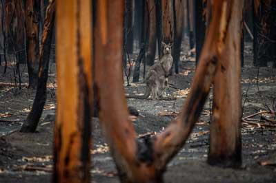 Why Do Kangaroos Die? The 4 Major Reasons