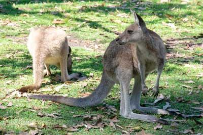 Kangaroo Photo Gallery