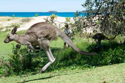 How Kangaroos Move and Why They Hop: An illustrated guide